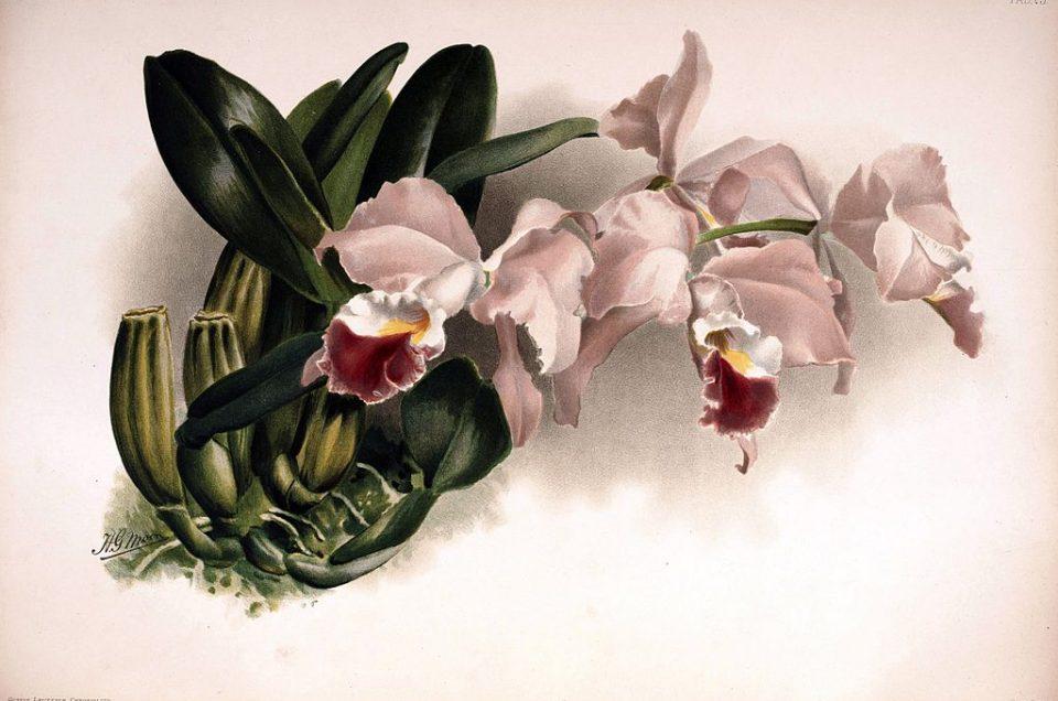 Orchideen Teil I: Die Cattleya, eine ziemlich dicke Lippe