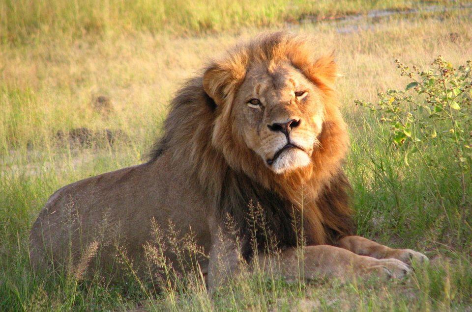 Cecil, der Löwe von Zimbabwe