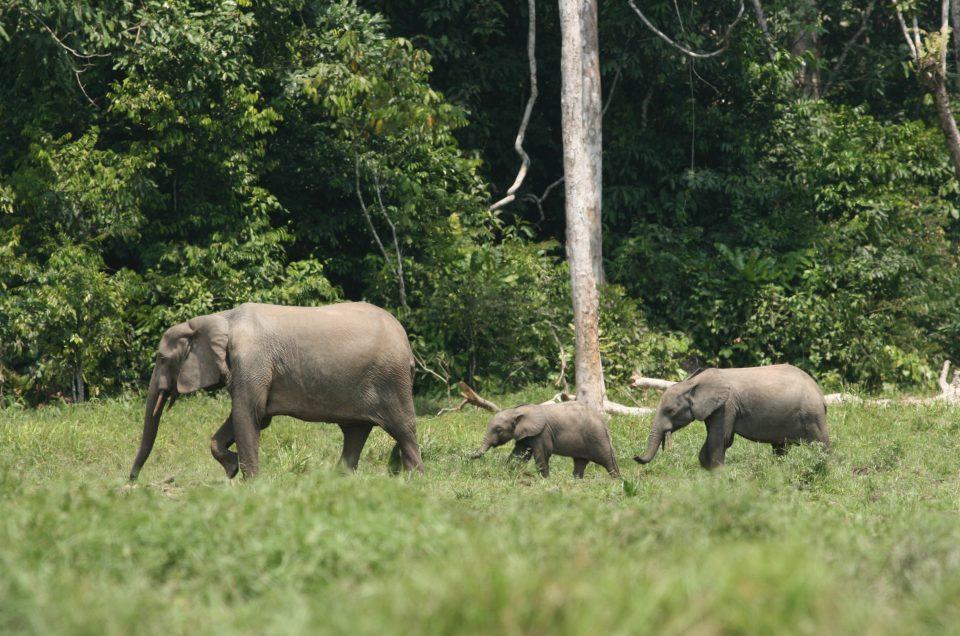 Der Afrikanische Waldelefant: hoechste Gefahrenstufe