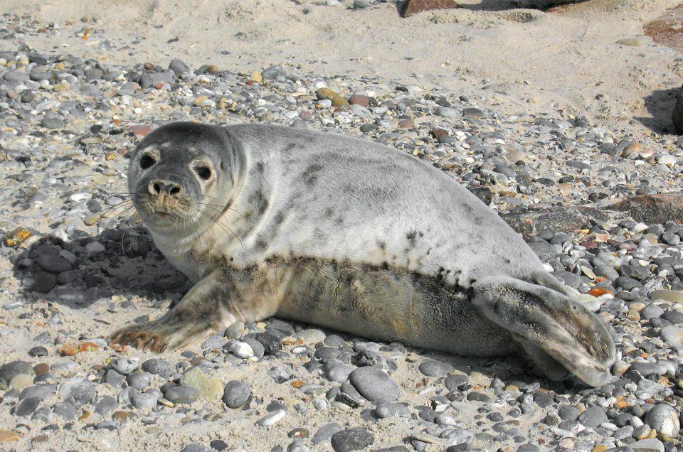 Robben – Küstenattraktion im Wasser und am Strand
