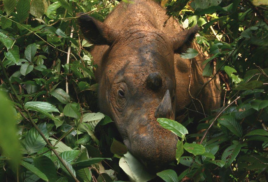 Nur noch 30 Exemplare – Mongabay Petition für das Sumatra Nashorn