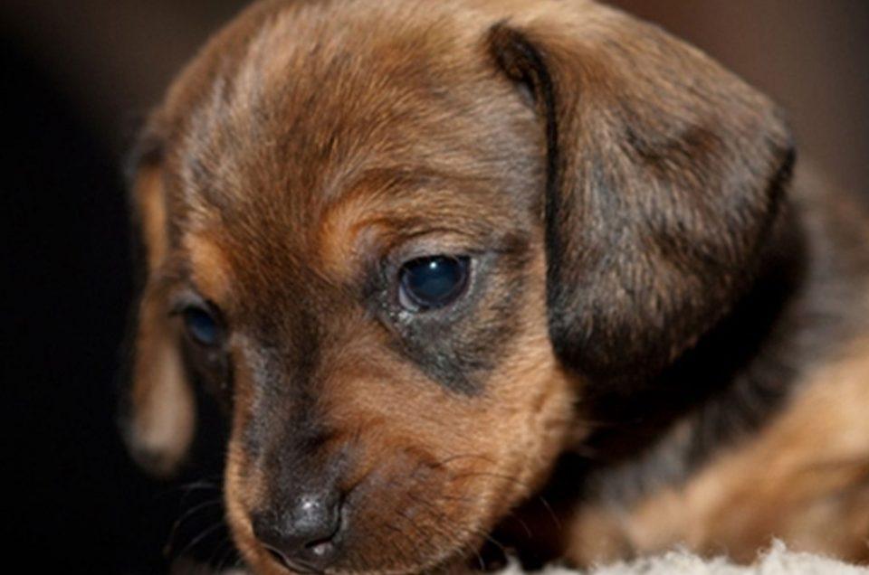Hundewelpen sind keine Weihnachtsgeschenke
