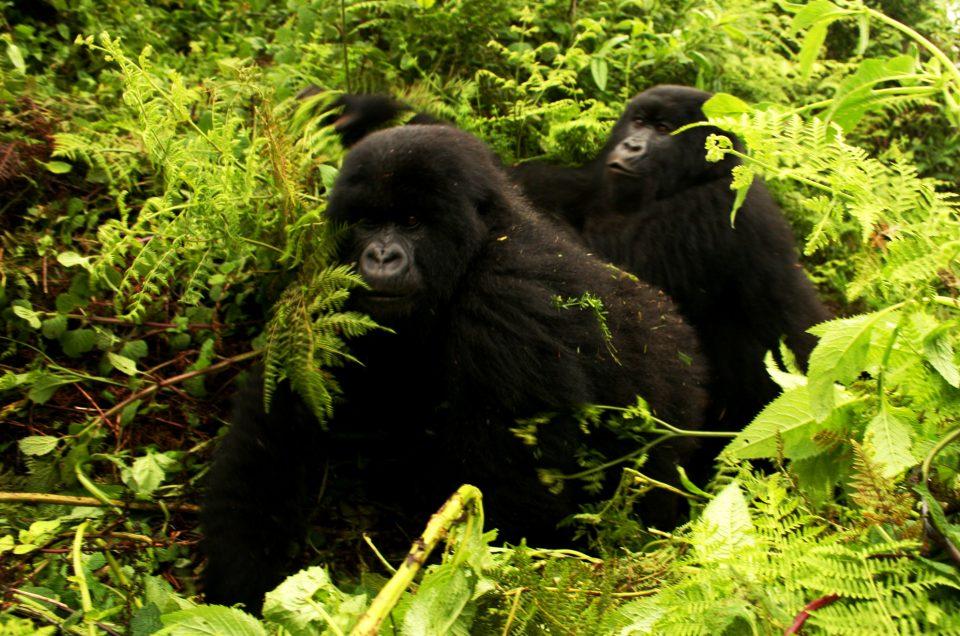 Lebensgefährlicher Job im Virunga Nationalpark