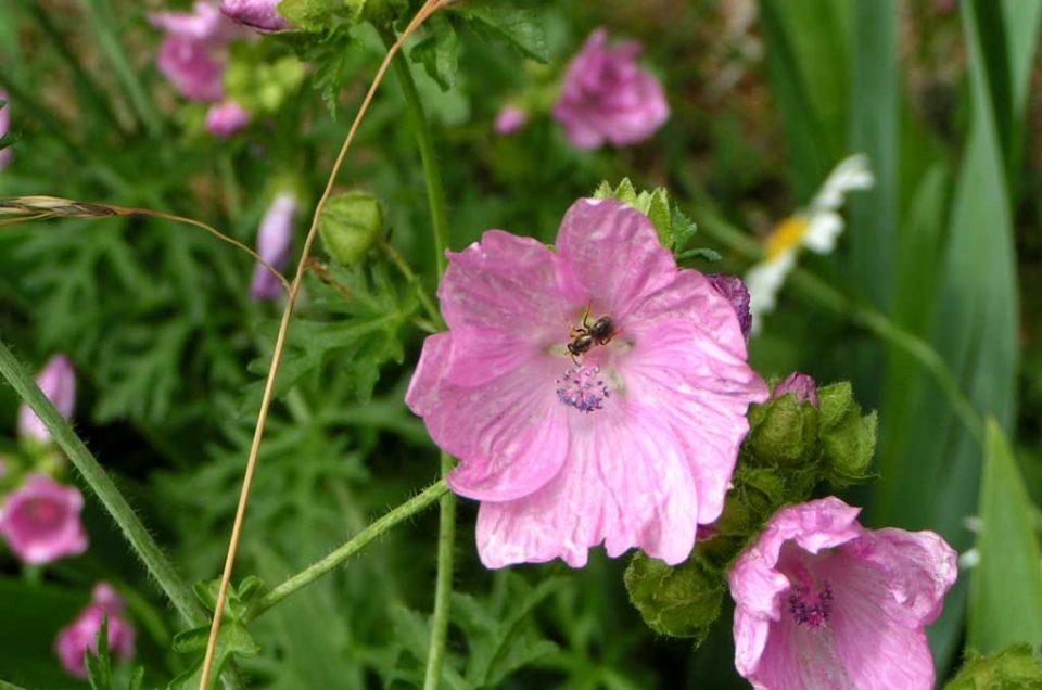 Insektenfreude mit regionalen Wildpflanzen
