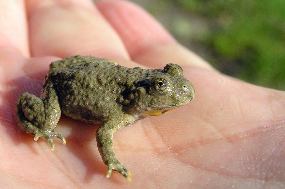 Neue Rote Listen: Amphibien und Reptilien in Deutschland stärker gefährdet